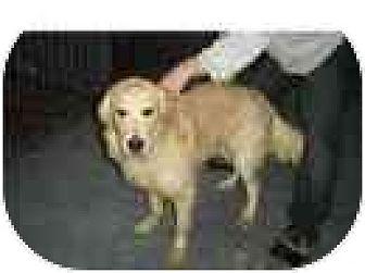 Golden Retriever Mix Dog for adoption in Kirkland, Quebec - Barney