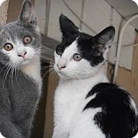 Adopt A Pet :: Mittens/Domino - Modesto, CA