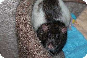 Rat for adoption in Austin, Texas - Abbott
