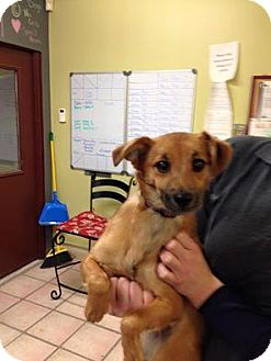Jack Russell Terrier/Pomeranian Mix Puppy for adoption in Newburgh, Indiana - Jax