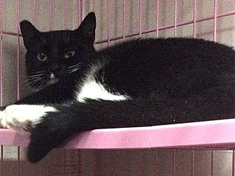 Domestic Shorthair Cat for adoption in Oakland, Oregon - Silvia