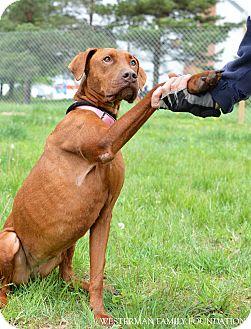 Doberman Pinscher Mix Dog for adoption in Delaware, Ohio - Journey