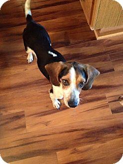 Beagle/Hound (Unknown Type) Mix Dog for adoption in Ashville, Ohio - Willie