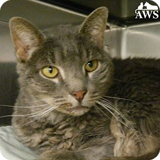 Domestic Shorthair Cat for adoption in West Kennebunk, Maine - Hector