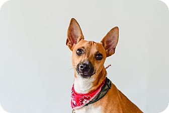 Chihuahua Mix Dog for adoption in Vancouver, British Columbia - Roo