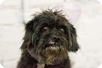 Schnauzer (Miniature)/Poodle (Miniature) Mix Dog for adoption in Bedminster, New Jersey - Annabella - MEET ME