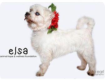Maltese Mix Dog for adoption in Sherman Oaks, California - Elsa
