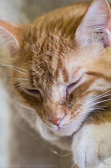 Domestic Shorthair Cat for adoption in Houston, Texas - BROCKY