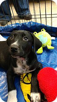 Labrador Retriever Mix Puppy for adoption in Fischer, Texas - Snoopy