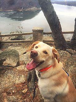 Golden Retriever/Labrador Retriever Mix Dog for adoption in Philadelphia, Pennsylvania - Otis