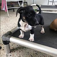 Adopt A Pet :: Kylee - MIAMI, FL