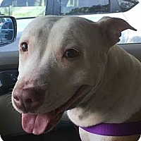 Adopt A Pet :: Fifi! Sweetness! - St Petersburg, FL