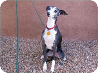 Italian Greyhound Dog for adoption in Albuquerque, New Mexico - Jocko