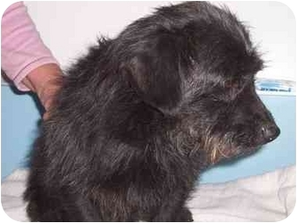 Terrier (Unknown Type, Small)/Terrier (Unknown Type, Small) Mix Dog for adoption in Bristow, Oklahoma - Crockett