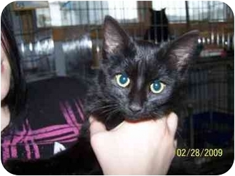 Domestic Shorthair Cat for adoption in Shelbyville, Kentucky - Alena