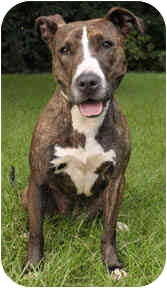 American Staffordshire Terrier/Pit Bull Terrier Mix Dog for adoption in Chicago, Illinois - Sophie