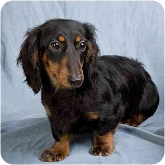 Dachshund Dog for adoption in Anna, Illinois - DELILAH