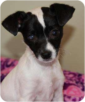 Parson Russell Terrier/Chihuahua Mix Puppy for adoption in San Pedro, California - Ellie