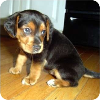 Beagle/Terrier (Unknown Type, Small) Mix Puppy for adoption in Cranston, Rhode Island - Clara