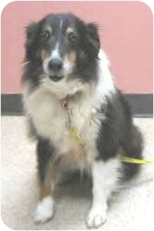 Sheltie, Shetland Sheepdog Dog for adoption in Circle Pines, Minnesota - Sky - I love attention!
