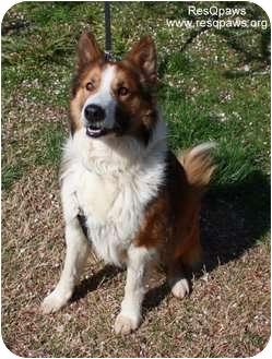 Collie Mix Dog for adoption in Yuba City, California - Stitch