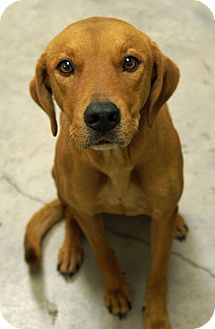 Labrador Retriever/Hound (Unknown Type) Mix Dog for adoption in Austin, Texas - Dusty