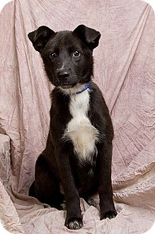 Border Collie Mix Puppy for adoption in Anna, Illinois - COLLEEN