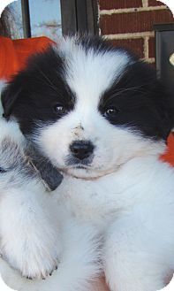 Great Pyrenees Mix Puppy for adoption in Tulsa, Oklahoma - Flower