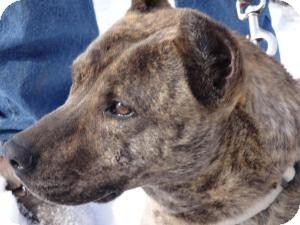 Dutch Shepherd/American Pit Bull Terrier Mix Dog for adoption in Littleton, Colorado - MILEY