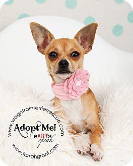 Chihuahua Puppy for adoption in Omaha, Nebraska - Simone