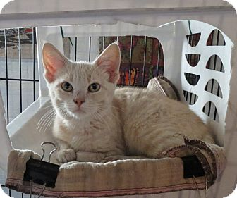 Domestic Shorthair Kitten for adoption in Geneseo, Illinois - Penny