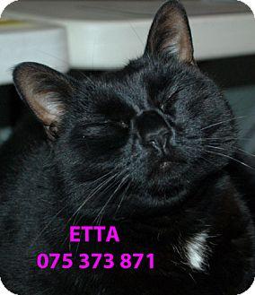 Domestic Shorthair Cat for adoption in Diamond Springs, California - Etta