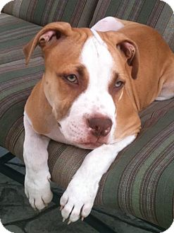 Pit Bull Terrier Mix Puppy for adoption in Hillsborough, New Jersey - Champ