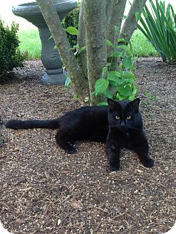 Domestic Shorthair Cat for adoption in Columbia, Maryland - Charlie