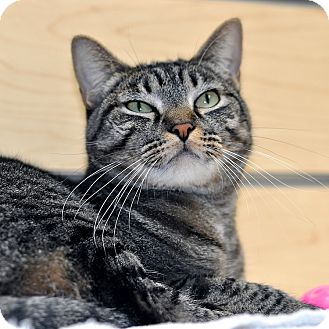Domestic Shorthair Cat for adoption in Houston, Texas - Sophie