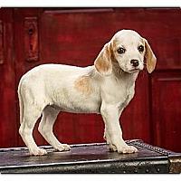 Adopt A Pet :: Peanut - Owensboro, KY
