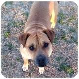 Labrador Retriever/American Staffordshire Terrier Mix Dog for adoption in Rayville, Louisiana - Asha