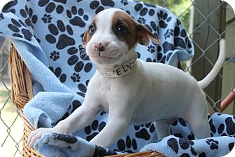 Border Collie Mix Puppy for adoption in Kimberton, Pennsylvania - Kelvin
