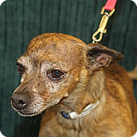 Adopt A Pet :: Schweddy - Broomfield, CO