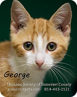 Domestic Shorthair Cat for adoption in Somerset, Pennsylvania - George