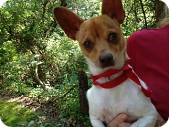 Terrier (Unknown Type, Medium)/Chihuahua Mix Puppy for adoption in Point Pleasant, Pennsylvania - BRUNO