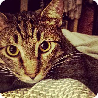 Domestic Mediumhair Cat for adoption in Schertz, Texas - Smokey MB