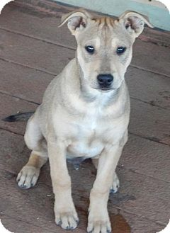 Whippet/Shepherd (Unknown Type) Mix Puppy for adoption in Perris, California - Gunner
