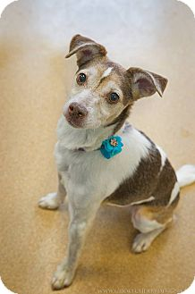 Fox Terrier (Smooth) Dog for adoption in Brookings, South Dakota - Zoey