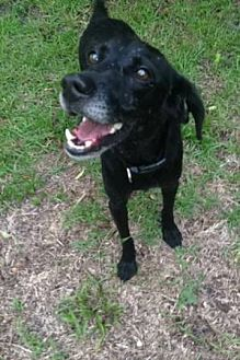 Labrador Retriever/Beagle Mix Dog for adoption in Wilmington, North Carolina - CEELO
