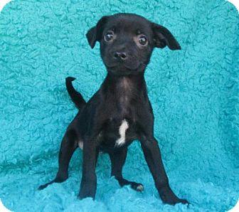 Chihuahua Mix Puppy for adoption in Waldron, Arkansas - CALLIE BARKLEY