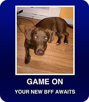 Dachshund/Labrador Retriever Mix Puppy for adoption in Morrisville, Pennsylvania - Tyson