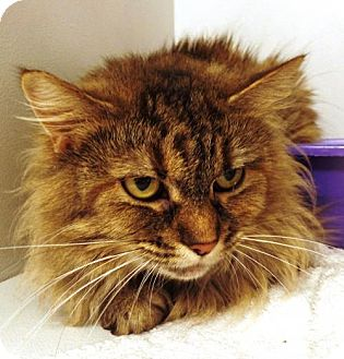 Domestic Shorthair Cat for adoption in Crown Point, Indiana - Skitty