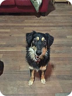 Border Collie/Australian Shepherd Mix Dog for adoption in kennebunkport, Maine - Angel - in Maine