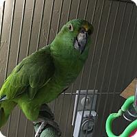 Adopt A Pet :: Teeka - Punta Gorda, FL
